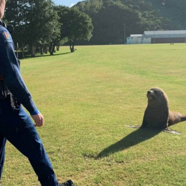 Seal tempted back to water with sausages…